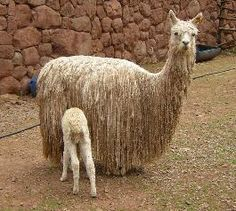 "Suri Alpaca fleece has the lustrous, penciled fiber that hangs down in ""dreadlocks"", giving the suri alpaca an entirely different appearance. Fibers of both types are considered luxury fibers in the textile trade because of their unique qualities."