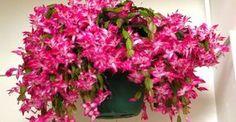 Télen is virágzó szobanövények Cactus Flower, Ranunculus, Houseplants, Succulents, Floral Wreath, Home And Garden, Christmas, Gardening, Cottages