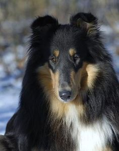 rough coat Collie ~ missing our beloved Piper who looks so much like this Collie <3 xoxo