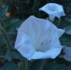 Moon+Flowers+Flower+At+Night | Moon Flowers by Moonlight