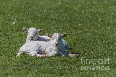 Two little #lambs for spring by Steve Purnell Photography #signsofspring #sheep