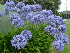 Whether you want to plant for the first time or renovate your garden, consider getting some Agapanthus Peter Pan.There are many cool things about this beautiful flower that will probably entice you. 10 Amazing Facts Of Agapanthus Peter Pan - African Lily Agapanthus Garden, Agapanthus Blue, Agapanthus Africanus, Garden Shrubs, Tropical Landscaping, Landscaping With Rocks, Arizona Landscaping, Backyard Landscaping, Gardens