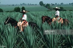 Agave field Workers on horses
