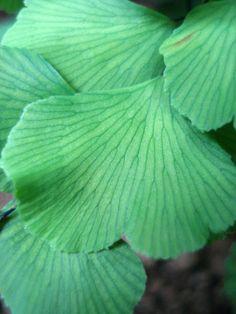 helecho chileno, Culantrillo o palito negro Plant Leaves, Flora, Plants, Fern, Black, Plant, Planets