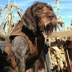 """Wirehaired Pointing Griffon ~ Classic """"Tough Day"""" Look"""