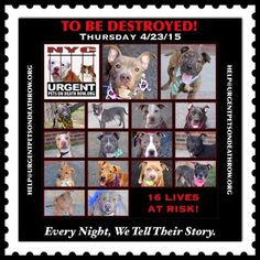16 BEAUTIFUL LIVES TO BE DESTROYED - 04/23/15 - PLEASE share their stories to help find them true forever loving homes. This is an EXTREMELY high kill facility! You may be their only hope. To rescue a Death Row Dog, Please read this:http://information.urgentpodr.org/adoption-info-and-list-o…/ To view the full album, please click here: http://nycdogs.urgentpodr.org/tbd-dogs-page/