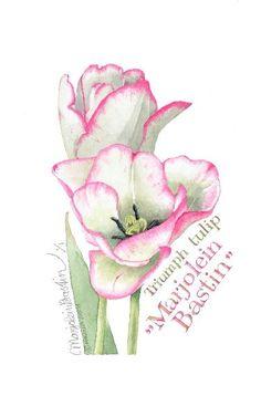 Marjolein Bastin - triumph tulip: