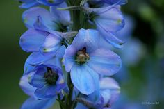Delphinium. (Wouldn't these look gorgeous near som tiger lillies?)
