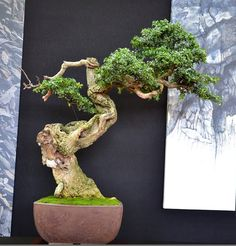 Have There Ever Been So Many Great Boxwood Bonsai in One Place? Bonsai Art, Bonsai Garden, Bonsai Tree Types, Bonsai Trees, Boxwood Bonsai, Bougainvillea Bonsai, Buxus Sempervirens, Old Trees, Pergola Lighting