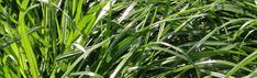 Cost effective ryegrass for interseeding Very fibrous aggressive roots Erosion Control, Roots, Cover, Plants, Plant, Planets