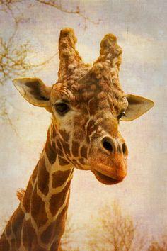Giraffe I - Fine Art Photograph Indianapolis Zoo, Giraffe Photos, Okapi, Greatest Mysteries, Camels, Small Art, Llamas, Giraffes, True Colors