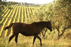 #Horse at Herdade São Miguel, Alentejo - Portugal  Beside winemaking we care also with the process involved. Na Herdade de São Miguel também nos preocupamos com outras coisas para além do vinho. www.earthfriendlywinery.pt
