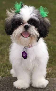 shih tzu hairstyles...looks just like my friend Lucy!