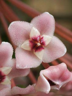 Hoya carnosa - Flickr - Photo Sharing!