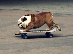 Bulldog on a skateboard... just having fun!