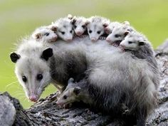 The only marsupial native to North America - the opossum.