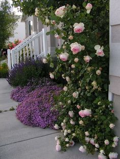 Stunning Eden rose in Utah garden of barb422 on GardenWeb forums.