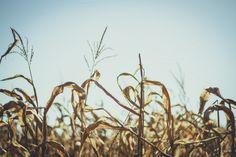 Dried Corn ~ Nature Photos on Creative Market