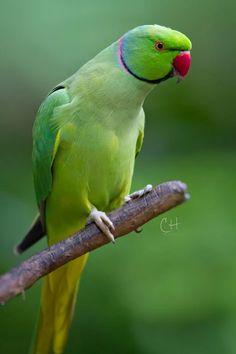 Colorful Parrots, Colorful Birds, Pretty Birds, Beautiful Birds, Alexandrine Parrot, Ring Necked Parakeet, Parrot Wallpaper, Parrot Pet, Glass Art Pictures