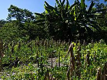 Mayan Milpas farming, Yucatan, Mexico – I can't speak for the economy for the whole Yucatan, Mexico but I can speak for where I live, in Valladolid, which is mid way between Cancun and Merida. There are probably three tiers of the economy – agriculture, education, and tourism