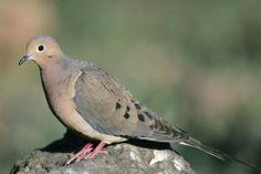 Doves-More than Yard Birds