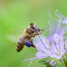 Beautiful Creatures, Animals Beautiful, Hives And Honey, I Love Bees, Bee Do, Bees And Wasps, Bee Friendly, Butterflies Flying, Beautiful Bugs