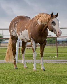 Legendary Zippos Sensation APHA Stallion #legend #painthorse #apha #westernriding #westernpleasure #stallion #sire #phenomenal #champion #horse #horses #horselove #horsephotos #horsephotography #nsba #color #glory #eternity