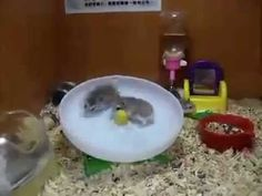2 Hamsters 1 Wheel. Worth the 56 seconds! hahahahaha