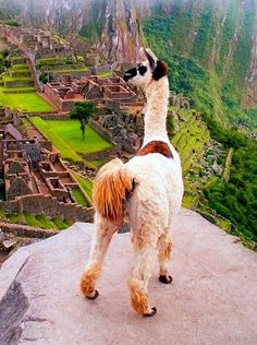 Machu Pichu never interested me until I saw this alpaca....