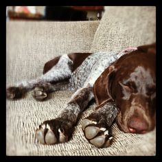 chloe hart, my gsp, sleeping