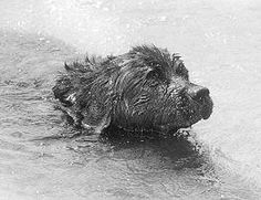 Rigel, a big black Newfoundland dog, belonging to First Officer Murdoch, saved the passengers in Life Boat #4. They were drifting in front of the Carpathia, too weak to call out. The dog had swum in the icy water for three hours, probably looking for his master. He was swimming in front of the lifeboat and alerted the Carpathia crew by barking. The boat might not have been rescued if not for the sharp barking of Rigel.