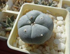 #cacti #cactus #lophophora Lophophora williamsii Lophophora williamsii