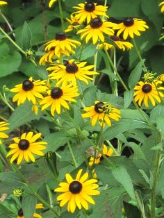 Black Eyed Susan - Perennial - Bloom early summer until frost - Need full to partial sun -  grows in any soil  but likes to be more dry - These grow 2 to 3 feet tall so use them in the back a flower bed or by themselves as an eye catcher  I have these in the back of my sitting area in the back yard.