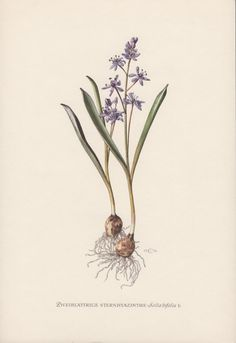 Vintage botanical lithograph printed in 1954, beautifully detailed, brilliantly colored, depicting the Alpine squill, Scilla bifolia.  Condition: