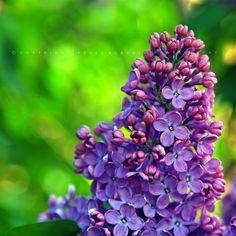Pölcz Klaudia - kisklau: Virágok április végén