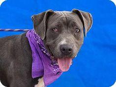 Pasadena, CA - Pit Bull Terrier Mix. Meet ALEX, a dog for adoption. http://www.adoptapet.com/pet/13589868-pasadena-california-pit-bull-terrier-mix