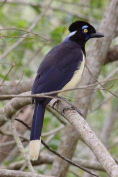 Cyanocorax chrysops MG 9622 - Lista de aves do Brasil – Wikipédia, a enciclopédia livre