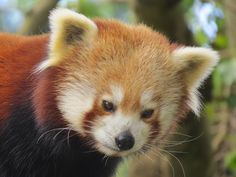 Red Panda - Explore #67  22 May 13 by sueeverettuk