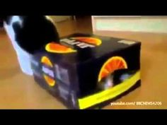 Cat can't fit in the box! - Funny videos 2013