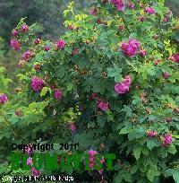 Rosa francofurtana `Ruustinna´ (`Sanna´)Kyrkogårdsros Garden, Plants, Garten, Lawn And Garden, Flora, Gardening, Outdoor, Plant, Gardens