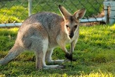 #PotentialistCanada - Trip Purpose 1: Improve my photography skills - A curious kangaroo in Australia