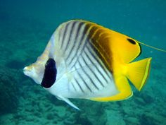 hawaiian reefs fishing pictures   Threadfin Butterflyfish (Chaetodon auriga Forsskal)