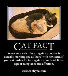 """15 Cat Facts And Trivia You Probably Didn't Know About . When your cats rubs up against you, she is actually marking you as """"hers"""" with her scent. If your cat pushes his face against your head, it is a sign of acceptance and affection. I Love Cats, Crazy Cats, Feral Cats, Cat Facts, All About Cats, Trivia, The Funny, Animal Rescue, Cats And Kittens"""
