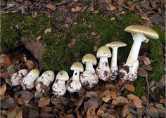Photo of the Death Cap, Amanita phalloides, from button stage to full sized fruiting body.  The World's Most Dangerous Mushroom ... and very tasty!