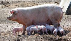 Hog Pig, Pig Farming, Hippopotamus, Pigs, Carne, Surfing, Animals, Dremel Accessories, Nutrition Program
