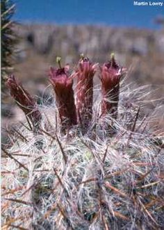 Flowers of Oreocereus celsianus, Old Man of the Andes