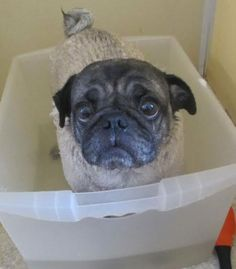 Using a plastic tub inside the tub would help my puppies feel safer during a bath & keep the bathtub cleaner! pug bath - adorable little face!