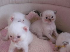 Ragdoll kittens, Purrfect kittens is a ragdoll cattery in the bay area of…