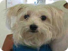 Los Angeles, CA - Maltese. Meet SPIKE, a dog for adoption. http://www.adoptapet.com/pet/13337336-los-angeles-california-maltese