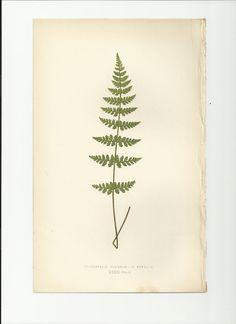 Antique Fern Print Plate Bookplate Botanical Lowe's Ferns 1859 Cystopteris Fragilis - V. Dentata. $11.00, via Etsy.